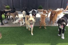 Dog Daycamp in St. Louis